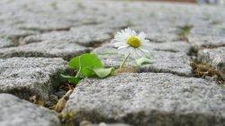 cobblestone-flower